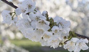 La culture des cerises Lazaya