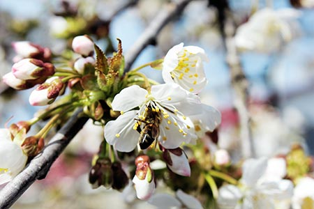 El cultivo de frutales de Lazaya se realiza siguiendo las buenas prácticas de la norma GlobalGAP.