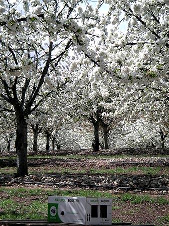 Cerezos en flor en nuestras plantaciones de Épila en Aragón: así polinizamos para la producción de fruta confitada.