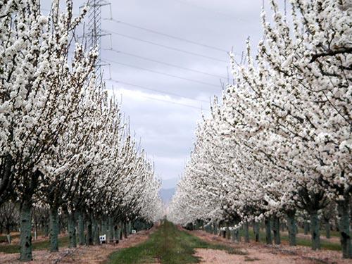 Cerezos en plena polinización para la producción de fruta confitada anual en nuestra fábrica de Calatayud.