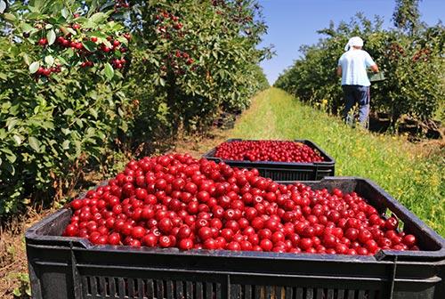 Cerezas recogidas y almacenadas en palots, para seguir camino a la fábrica de frutas confitadas.