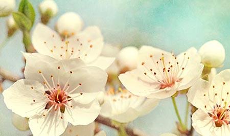 Flores de los cerezos que surtirán la fábrica de fruta confitada y otras frutas en conserva de Lazaya.