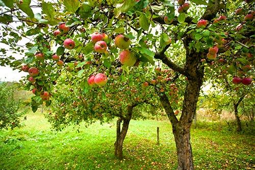 Manzanos en flor, cuya fruta se destinará a la producción de fruta confitada y otras frutas en conserva.