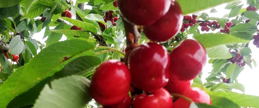 usos de las cerezas en almíbar