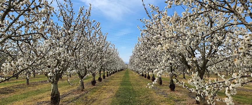 La floración de los cerezos en marzo