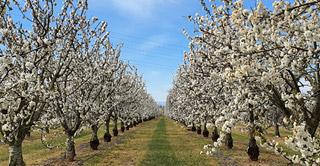 Flores blancas de los cerezos