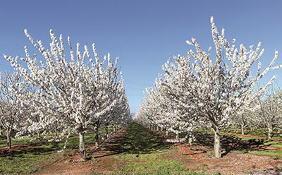 cherry trees of the Lazaya plantation in CALATAYUD