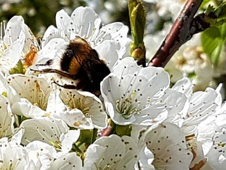 Bumblebees pollination have many advantages compared to honeyvbees pollination.