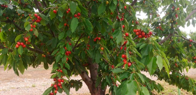 Lazaya we have our own cherry orchards